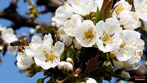 kvet-ceresna